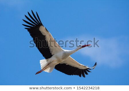 белый аистов лет изображение полет Blue Sky Сток-фото © taviphoto