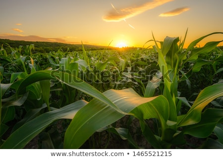 Young Maize Corn Crops Leaves in Field Stock photo © stevanovicigor