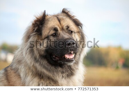 Caucasian Shepherd portrait Stock photo © vtls