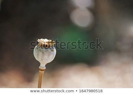 haşhaş · kafa · tohumları · yalıtılmış · beyaz · çiçek - stok fotoğraf © haraldmuc