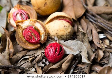 Kolorowy Fotografia gałka muszkatołowa owoców brązowy nasion Zdjęcia stock © tang90246