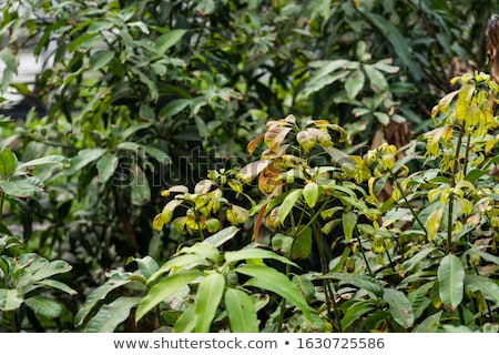 Mango withered leaf Stock photo © muang_satun