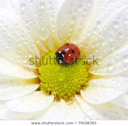 close up of an yellow ladybug Stock photo © mady70