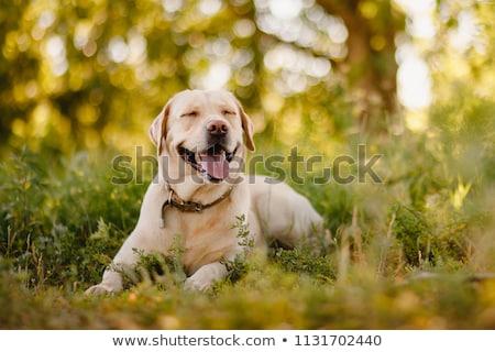 amarillo · labrador · retriever · sonriendo · cute · perro · aislado - foto stock © silense