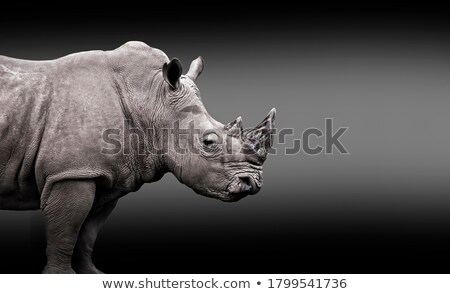 white rhino feeding stock photo © ca2hill
