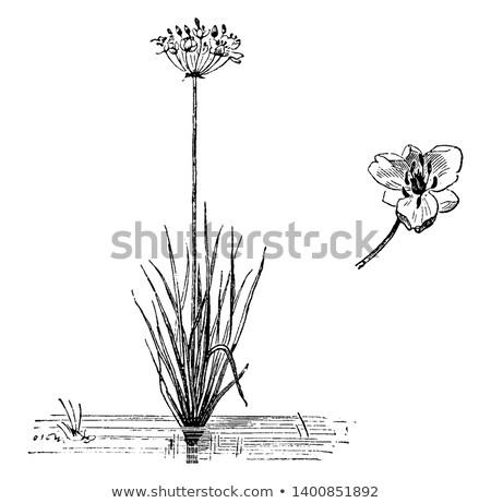 Flowering rush (Butomus umbellatus) Stock photo © mady70