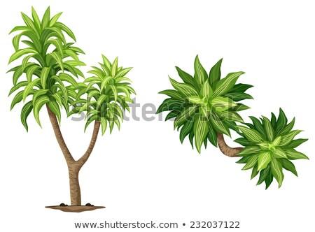 Queen of Dracaenas plant Stock photo © bluering