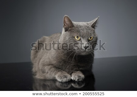 Albastru pisică întuneric studio fericit animal Imagine de stoc © vauvau