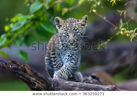 baby leopard walking in the grass stock photo © simoneeman