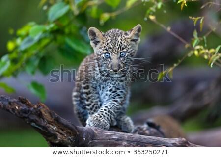 ребенка Leopard ходьбе трава парка ЮАР Сток-фото © simoneeman