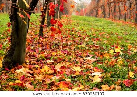 Güzel renkli bağ sonbahar şarap yaprak Stok fotoğraf © stefanoventuri