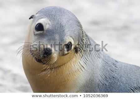 Australian sea lion (Neophoca cinerea) Stock photo © dirkr