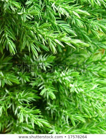 Green prickly branches of a fur-tree closeup Stock photo © pashabo