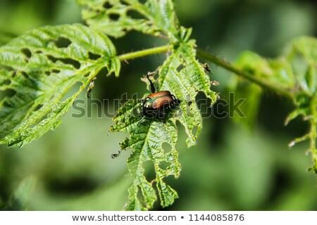 жук · насекомое · белый · макроса · коричневый - Сток-фото © lightsource
