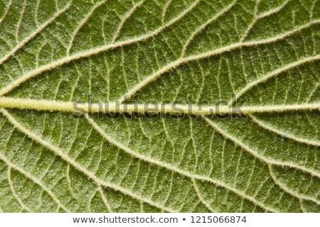Yeşil yaprak ayrıntılı makro fotoğraf doğal düzen Stok fotoğraf © artjazz