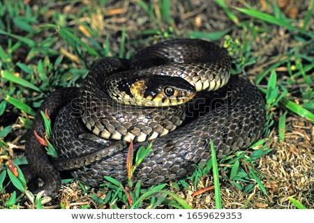 Teljes alakos fű kígyó út bőr állat Stock fotó © taviphoto