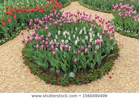 поляна красный Purple свежие тюльпаны красочный Сток-фото © ElenaBatkova