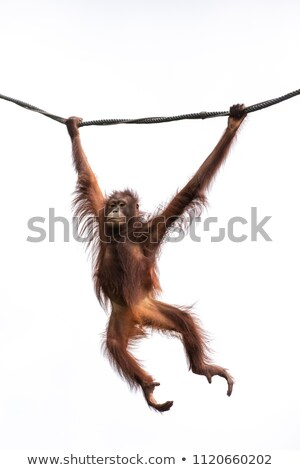 Affen Swing Illustration viele Freunde Spielzeug Stock foto © colematt