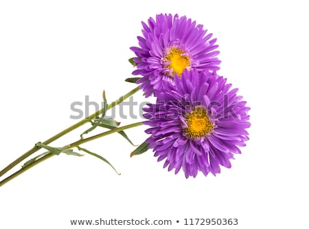 Lilac Chinese Aster flower isolated on white background Stock photo © CatchyImages