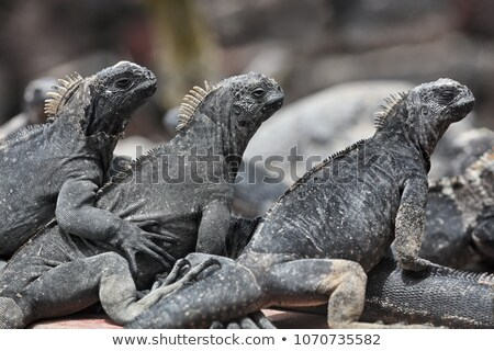 Marinha iguana sol ilha vulcânico rochas Foto stock © Maridav