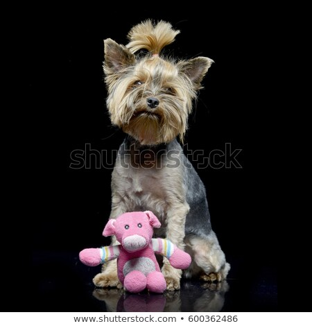 An adorable Yorkshire Terrier with a pink stuffed animal Stock photo © vauvau