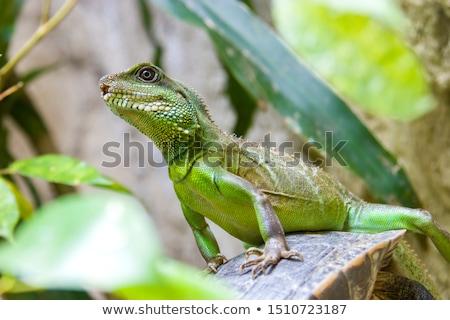 verde · lagarto · tropical · macro · naturalismo · Malásia - foto stock © fahrner