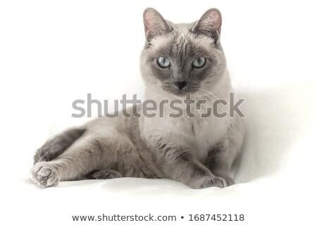 Portrait of pedigreed cat Stock photo © fotografci