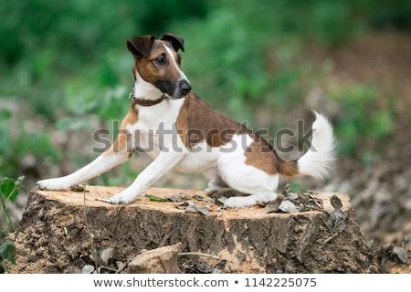 Fuchs · terrier · Porträt · reinrassig · weiß · Hund - stock foto © eriklam