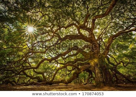 1000 év öreg tölgyfa fa erdő Stock fotó © visdia