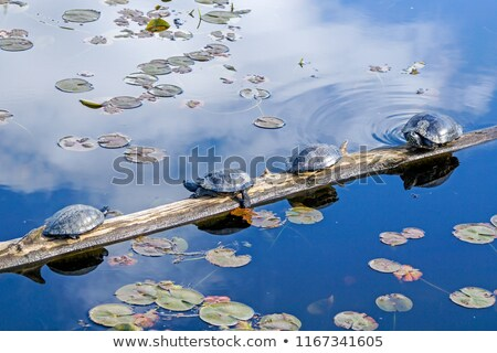 Four Turtles Resting on a Log Stock photo © ArenaCreative