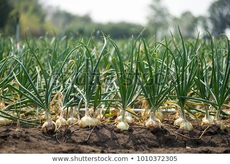 onion field Stock photo © xedos45