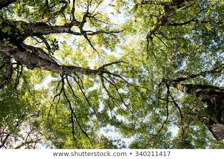 деревья лес весны свет лист Сток-фото © Kuzeytac