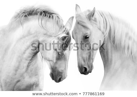 Foto stock: Branco · cavalos · dois · suporte · campo
