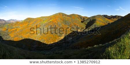 California poppy 30 Stock photo © LianeM