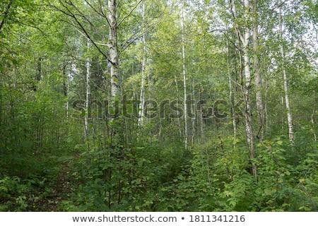 Dense undergrowth Stock photo © zzve