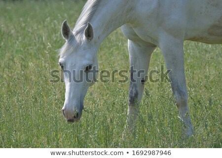 Head of a Gray Horse Grazing stock photo © rhamm