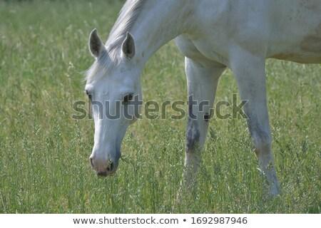 Head of a Gray Horse Grazing Stock photo © rhamm