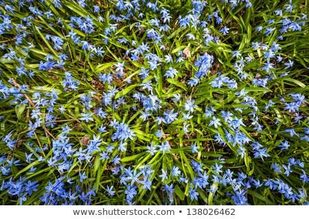 primavera · prado · azul · flores · floresta · piso - foto stock © elenaphoto