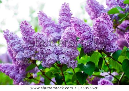 The bush of lilac Stock photo © Traven