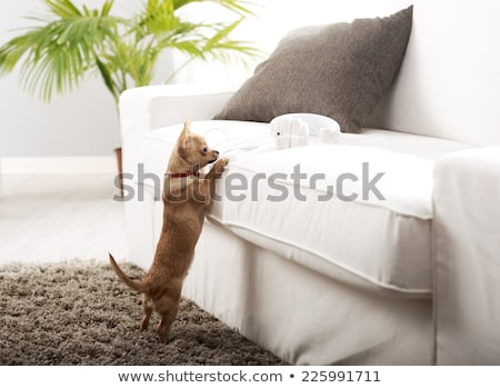 Chihuahua in the living room Stock photo © stokkete