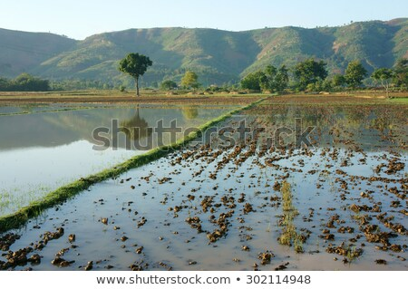rice field harvested with mountain chain behind stock photo © xuanhuongho