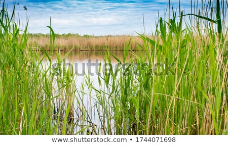 Japanese silver grass on the river bank Stock photo © shihina