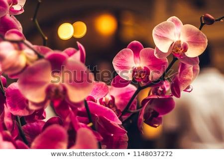красный белый орхидеи красоту зеленый завода Сток-фото © rabel