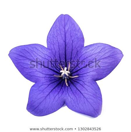 mavi · çiçek · kafa · beyaz - stok fotoğraf © sarahdoow