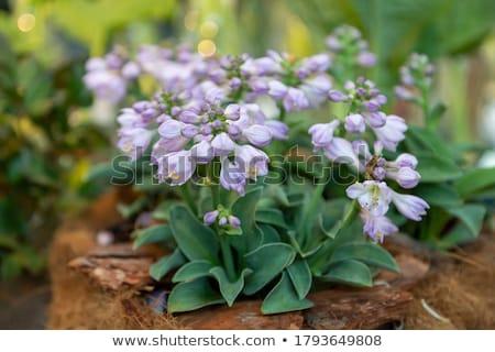 Fleur fleurs floraison jardin amour Photo stock © EFischen