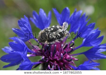 arı · nektar · çiçek · mor - stok fotoğraf © sirylok
