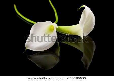 Lily noir floraison vert  tige isolé Photo stock © vtls