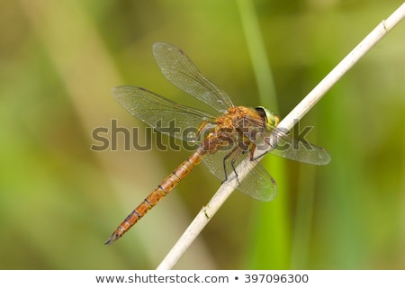 Norfolk Hawker  Aeshna isosceles Stock photo © chris2766