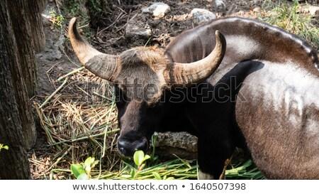 Banteng Stock photo © manfredxy
