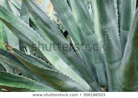 Közelkép hatalmas agavé növények virág kupola Stock fotó © tang90246